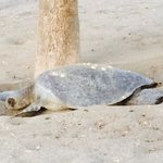 Sea turtle laying eggs on our beach