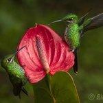 Resident hummingbirds