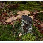 ceppo di funghi