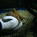 Common octopus at the London Aquarium