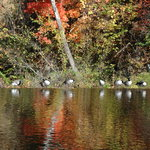 Ducks and Geese Line up on Mocks Mill Falls