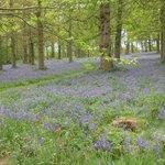 Blickling bluebell woods norfolk