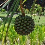 Durian tree i found on the grounds