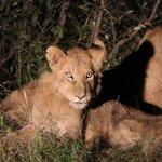 lion cubs!