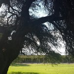 This awe inspiring Algarobo tree is 300 years old. They grace the property.