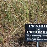 Prairie grass restoration, VC at Cahokia Mounds, Oct 2013