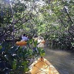 kayak through mangroves with Shark Bait tour