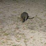 Un piccolo wallaby nel cortile
