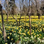 Thanks to Chuck's recommendation, I got to visit daffodil heaven!