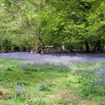 Ashridge bluebell walk May 2014