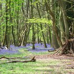Ashridge bluebell walk May 2014