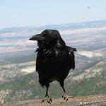 Corbeau Bryce Canyon