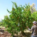 plantaciones de arboles frutales organicos