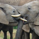 Elephants giving kisses to each other