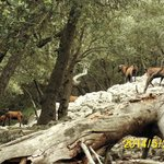 Goats in the forest