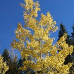 Our Aspens display their vibrance in the fall.