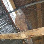 Caged hawk