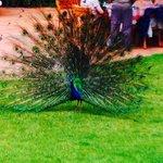 Fauna en la hacienda: pavo real