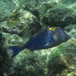 spotted boxfish (male)