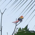 Daily visitors in LaPiña : red parrots