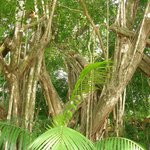 The toucans and howlers monkeys tree