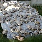 Turtles turtles turtles.