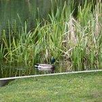 Mallards in the pond