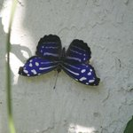 Many butterflys bred and hatched here at the sanctuary
