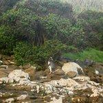 Yellow-eyed penguin at Curio Bay