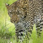 follow the leopard for 3 hours