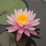 Flor aquática