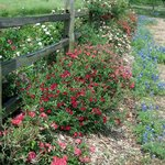 Roses along the fence