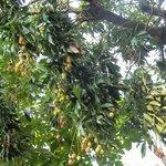 lai chi trees