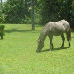 Ginger the resident pony