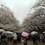 Cherry blossom with rain.