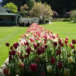 Explosion of Tulips