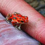 More red frog