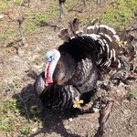 The turkey guarding the vines!