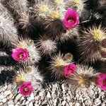 Magnificent desert flowers
