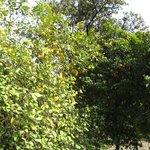 цитрусовые в садах