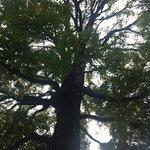 TALL GINGKO TREE !