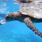 Swimming with turtles on snorkeling trip with Sagittarius from Anse Volbert