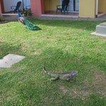 Iguana y pavo real en los jardines