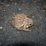 American Toad along nature trail