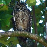 An eagle owl in the garden - amazing.