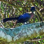 Turaco (it's a dream bird surely?)