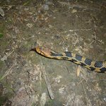 Fox snake on trail