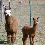 Only a quick stroll up the road and you arrive at our Alpaca Farm!
