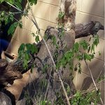Meerkat Atlanta Zoo