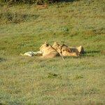 Leeuwen hebben een krokodil gevangen
